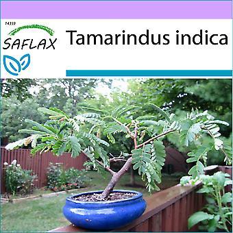 Saflax - 4 graines - Bonsai - Tamarin - Dattier d'Inde - Tamarindo / Dattero dirigé - Tamarindo - B - Tamarinde