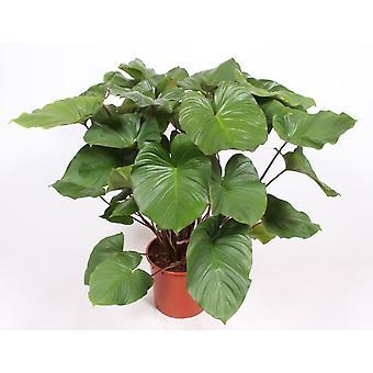 Homalomena ↕ 55 a 140 cm disponibile con fioriera | Homalomena rubescens Maggy