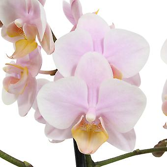 Choice of Green - Phalaenopsis Amore Mio Amaglad  in white ceramic pot - Butterfly Orchid