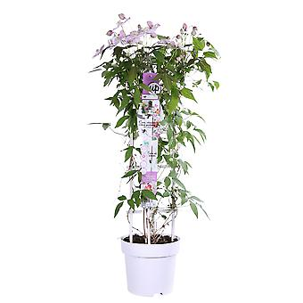 Up! Climbers - Clematis montana 'Carnaval' - outdoor plant in grower pot ø 23 cm - height 80-90 cm