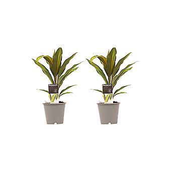 Zimmerpflanzen von Botanicly – 2 × Keulenlilie – Höhe: 40 cm – Cordyline Fruticosa Kiwi