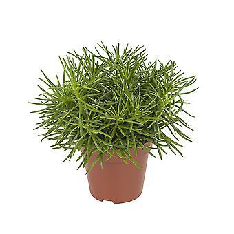 Senecio Himalaya ragwort - Wysokość 25 cm - Garnek średnicy 12 cm
