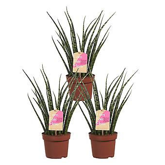 Choice of Green - Set of 3 Sanseveria Fernwood Mikado - Female Tongue