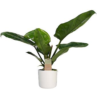 Philodendron imperial Green ↕ 45 tot 45 cm verkrijgbaar met bloempot | Philodendron imperial Green