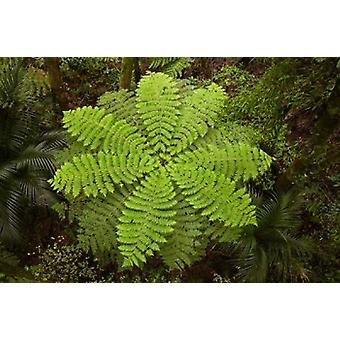 Tree fern AH Reed Memorial Kauri Park New Zealand Poster Print by David Wall