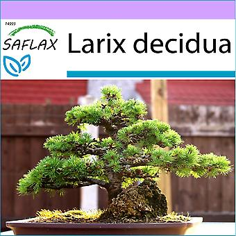 Saflax - 75 Samen - Bonsai - Lärche - Mélèze d ' Europe - Larice Comune - Alerce Europeo - B - Europäische Lärche