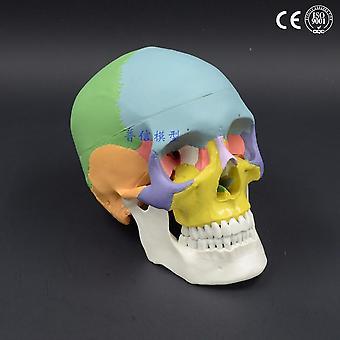 1:1 Color Head Model, The Natural Human Skull Adult Head
