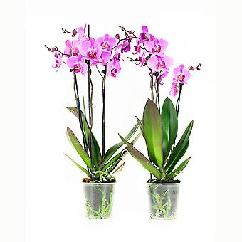 BOTANICLY Phalaenopsis multiflora - Butterfly orchid pink