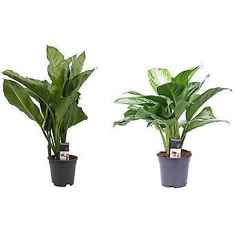 Plantas interiores de Botanicamente – 2 × Evergreens chineses – Altura: 55 cm – Aglaonema