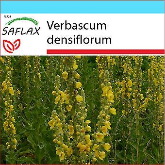 Saflax - Gift Set - 500 graines - grandes fleurs Molène - Molène à fleurs denses - Verbasco falso barbasso - Gordolobo - Großblumige Königskerze