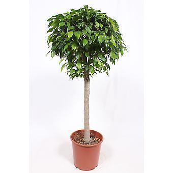Zimmerpflanze von Botanicly – Birkenfeige – Höhe: 130 cm – Ficus benjamina columnar