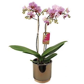 Vlinder orchidee ↕ 50 cm verkrijgbaar met bloempot | Phalaenopsis Multiflora Sweet Red Lip