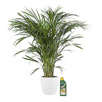 Kamerplant – Goudpalm incl. sierpot wit + 500 ml kunstmest als set – Hoogte: 90 cm