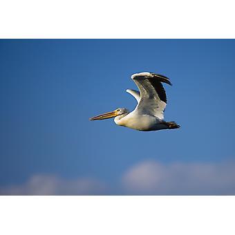 Flygande Pelican PosterPrint