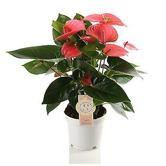 Zimmerpflanze von Botanicly – Flamingoblume – Höhe: 40 cm – Anthurium andreanum Pink Champion