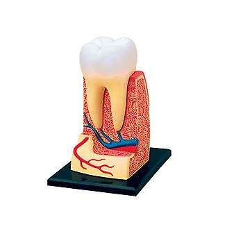4D Human Anatomy Triple-Root Molar Model