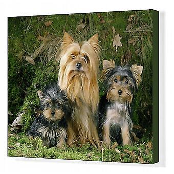 Yorkshire Terrier Hond - volwassen & puppy's. Afdrukken van vakcanvas. LA-66 <br>Yorkshire Terrier Dog - volwassene.