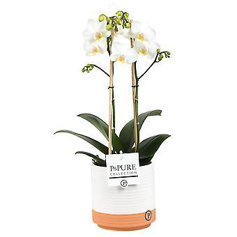Vlinder orchidee met verschillende bloemkleuren | Phalaenopsis Amaglad