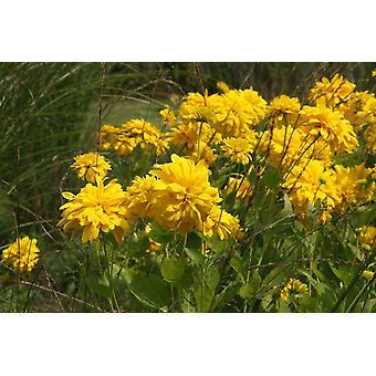 オオハンゴンソウ Goldquelle - コーンフラワー、9 cm ポットに植物