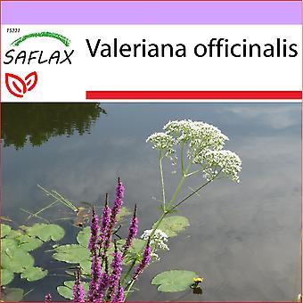 Saflax - 200 zaden - gemeenschappelijk Valeriaan - Valériane officinale - Valeriana - Valeriaan (geslacht) - Baldrian