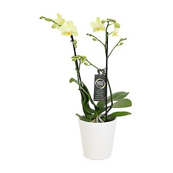 Choice of Green - Phalaenopsis Amore Mio Green Pixie in white ceramic pot - Butterfly Orchid