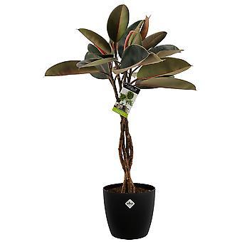 Kamerplant – Rubberboom incl. sierpot zwart als set – Hoogte: 100 cm