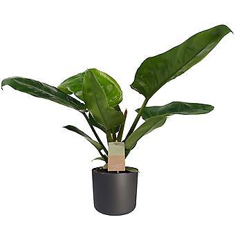 Decorum Philodendron Imperial Green Feel Green z Elho B. dla miękkiego antracytu - Wysokość 45 - Garnek średnicy 14
