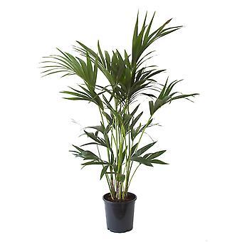 Kentia Palm 21 cm quince spot 110 cm de altura