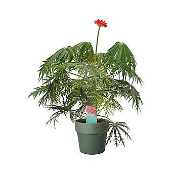 Kamerplant van Botanicly – Jatropha multifida in groen pot als set – Hoogte: 35 cm
