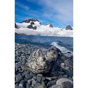 Weddellsälen beach västra Antarktiska halvön affisch Skriv av Steve Kazlowski