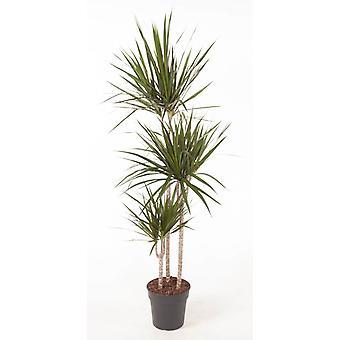 Planta de interior de Botanicly – Árbol dragón – Altura: 150 cm – Dracaena Marginata