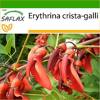 Saflax - 6 sementes - com solo - Cockspur Coral árvore - Ceibo - Albero del corallo - Árbol del coral - Karibischer Korallenstrauch