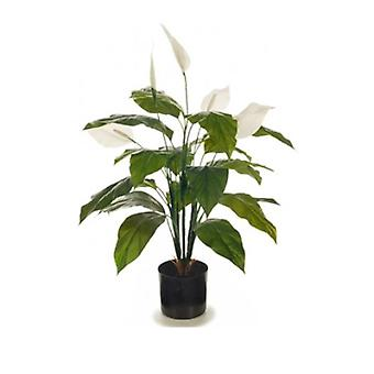 Flowering Spathiphyllum Lily 70 Cm Peace Lily Plant
