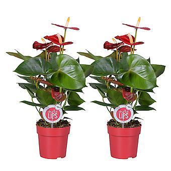 MoreLIPS® - 2 Flamingoplanten 'Rustica' rood - luchtzuiverende kamerplanten  hoogte 35-45 cm - Anthurium andreanum
