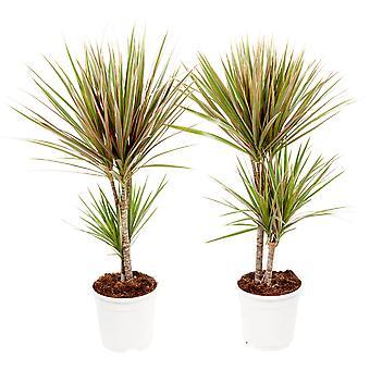 Plantas Interiores – 2 × Árvore do Dragão – Altura: 75 cm, 2 hastes