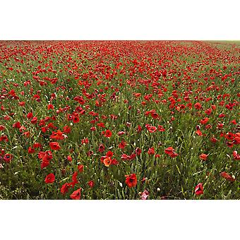An Abundance Of Red Poppies In A Field Northumberland England PosterPrint