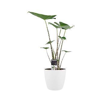 Elefantøre ↕ 60 cm tilgængeligt med plantageejer   Alocasia Zebrina