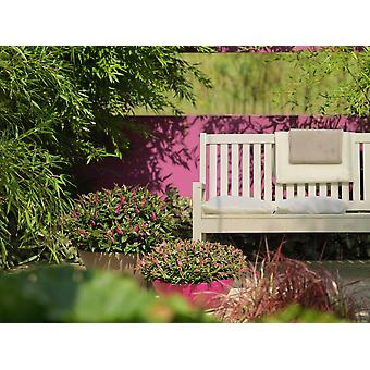 Hedges & Shrubs from Botanicly – Hebe Addenda Donna – Height: 45 cm