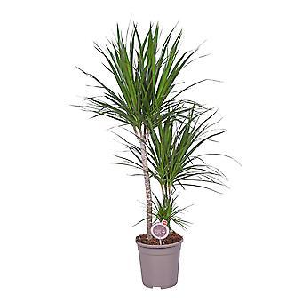 MoreLIPS® - Lohikäärmeen veripuu - ilmaa puhdistava huonekasvi - korkeus 115-125 cm Dracaena marginata