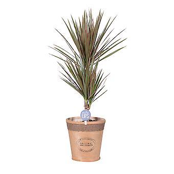 MoreLIPS® - Lohikäärmeen veripuu - Ilmaa puhdistava huonekasvi Dracaena marginata Bicolor