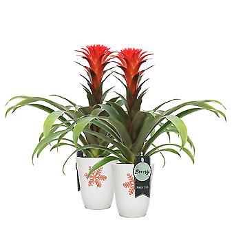 Bromelia Guzmania Hope in pot 'Miami Christmas Star' - set of 2 pieces - Height 45 cm - Diameter pot 13 cm