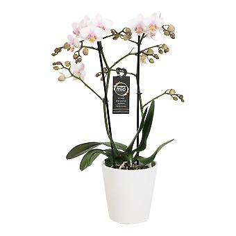 Choice of Green - Phalaenopsis Amore Mio Amaglad in Soft in white ceramic pot - Butterfly Orchid
