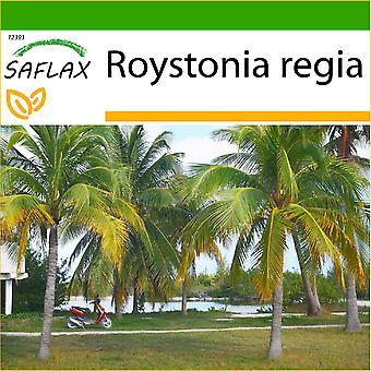 Saflax - 8 semillas - con suelo - Palmera real cubana - Palmier royal de Cuba - Palma real cubana - Palmera real cubana - Cubanische Königspalme