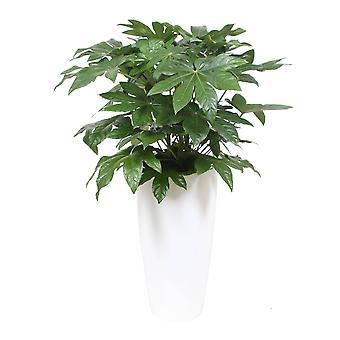Fatsia japonica - Paluszna - w santorini garnek biały - Pół-Hydrokultura - Wysokość 140 cm - Garnek średnicy 33 cm