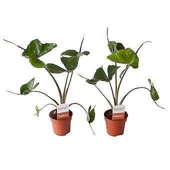 Indoor trees from Botanicly – 2 × Alocasia – Height: 45 cm – Alocasia Stingray