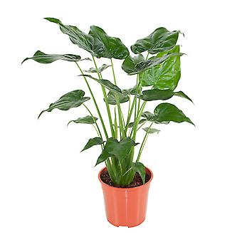 Kamerplant van Botanicly – Olifantsoor – Hoogte: 100 cm – Alocasia Cucullata