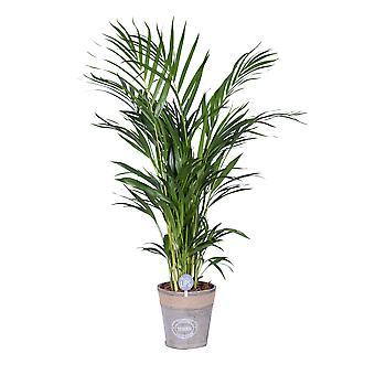 MoreLIPS® - Goudpalm - in naturel houtlook Chipwood pot - hoogte 80-90 cm - potdiameter: 19 cm - Dypsis lutescens