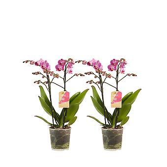 BOTANICLY Phalaenopsis multiflora - Butterfly orchid purple