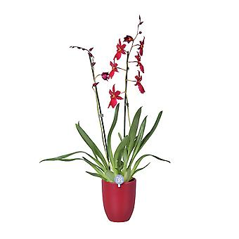 MoreLIPS® - Orchid- Cambria 'Nelly Isler' -  2 tak met rood  keramiek - hoogte 50-60 cm - potdiameter: 14 cm