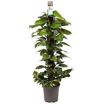 Planta Interior de Botanicamente – Devil's hera – Altura: 120 cm – Epipremnum Aureum